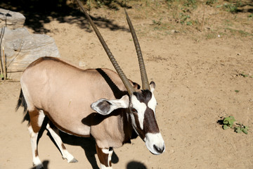 gemsbok or gemsbuck (Oryx gazella)