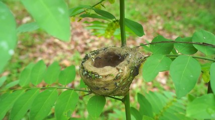Hummingbird flies and sits on its nest