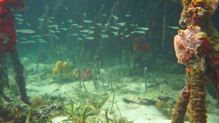 fish with corals underwater in mangrove roots