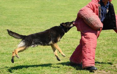 K9 dog in training, attack demonstration