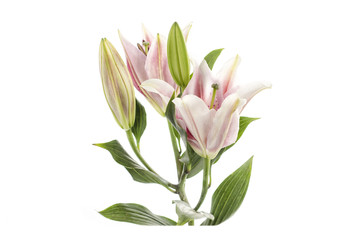 Pink Lily isolated on white background Clipping path