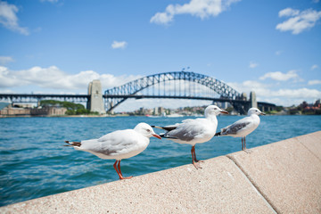 Seagulls and Sydney Harbour Bridge