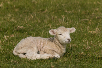 newborn lamb resting on grass