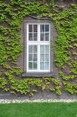 Wall with window covered with green ivy