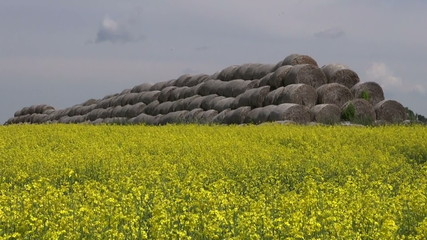 old straw bales stack on beautiful  summer rapeseed field
