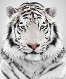 Fototapety White tiger