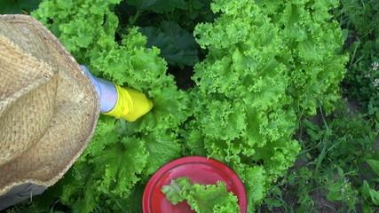 gardener farmer picking fresh lettuce from  garden