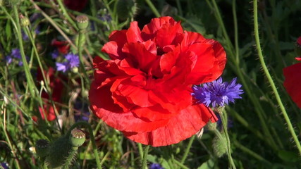 beautiful red poppy and blue cornflower