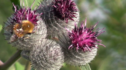 Great Burdock (Arctium lappa) medical  flowers and bumblebee