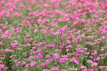 サンサシア ネメシアの園芸品種