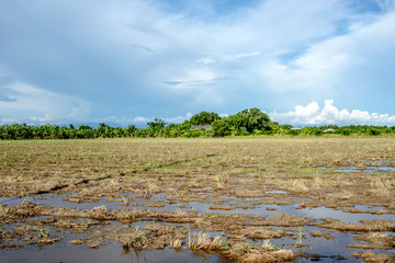 Rice field after the harvast  in Thailand.