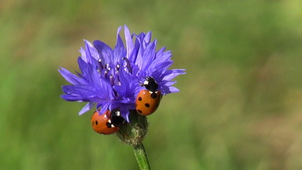 beautiful insect ladybird ladybugs on cornflower blossom