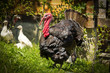 canvas print picture - Beautiful turkey-cock in the yard on grass
