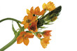 canvas print picture - Stern von Bethlehem, Ornithogalum , close-up