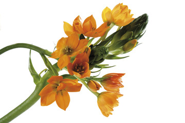 Stern von Bethlehem, Ornithogalum , close-up