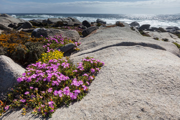 Pink flowers on the dunes