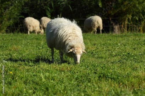 Mehrere Schafe Poster