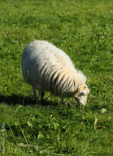 Ein  Schaf Poster
