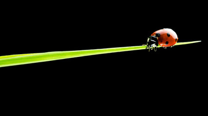 Ladybug walking on a blade of green grass