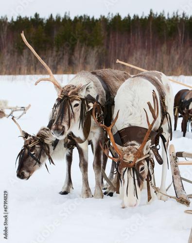 Foto op Aluminium Scandinavië Reindeers on snow