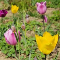 Tulpen bunt - tulips colourfully 02