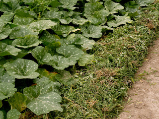 growing pumpkins in arid zone