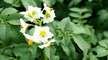 White flowers of blooming potato