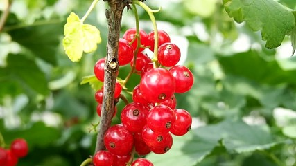 Bunch of red currants on the branch