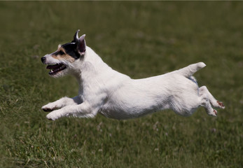 Jumping dog in the air