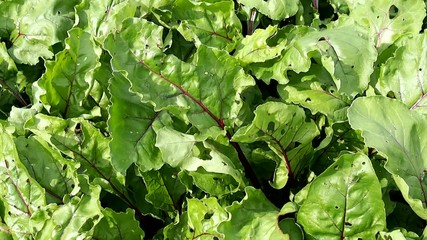 Beet leaves in the garden