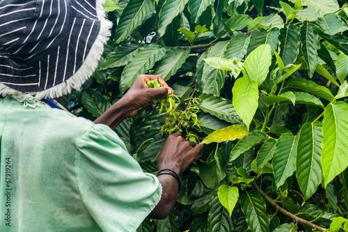 Ylang-Ylang harvest - 67919264