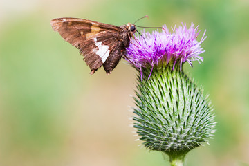 moth on a thistle flower in summer