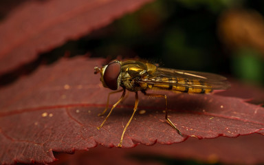 A Hoverfly on a Acer plant