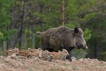 Boar and its young in the forest