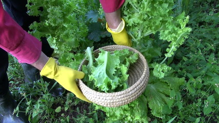 gardener farmer picking fresh lettuce from  garden