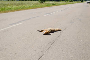 Car killed dead fox animal body lay on road