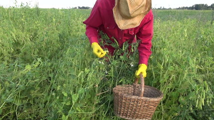 farmer picking fresh sweet pea pods in wicker basket