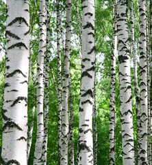 White birch trunks in summer sunny forest