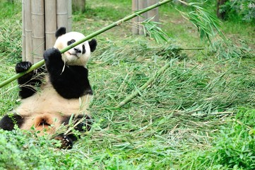 giant panda eat bamboo tree leaf