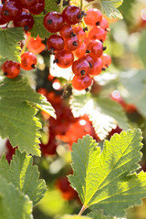 Red currant. The sun shines through the leaves