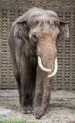 Maschio di elefante indiano