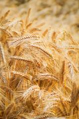 Reife  Getreideähren im Sonnenschein