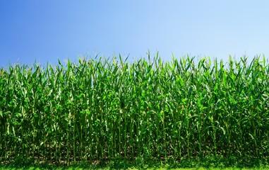 Junger Maisbestand im Sommer