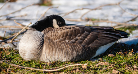 Single Canada goose warming its beak in feathers.