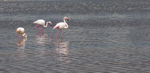 Cagliari,Sardinia, Italy, wading Pink Flamingos.