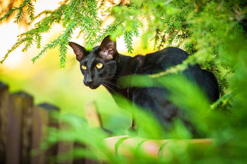 Black oriental cat outdoors