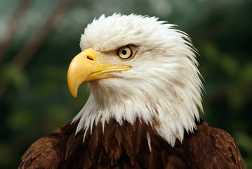 Portrait of a bald eagle(lat. haliaeetus leucocephalus)