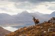 Wild stag, Scottish highlands