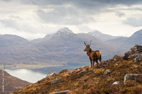 Foto op Aluminium Hert Wild stag, Scottish highlands