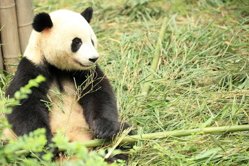 giant panda at forest